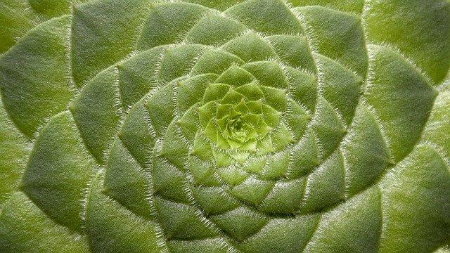 Detail růžice rostliny-sukulentu